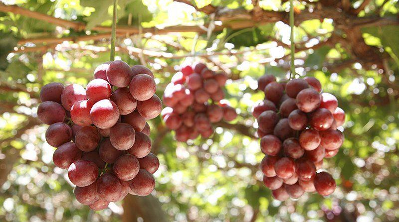 Recambio varietal en uva de mesa en el sur de per agap asociaci n de gremios productores - Variedades de uva de mesa ...