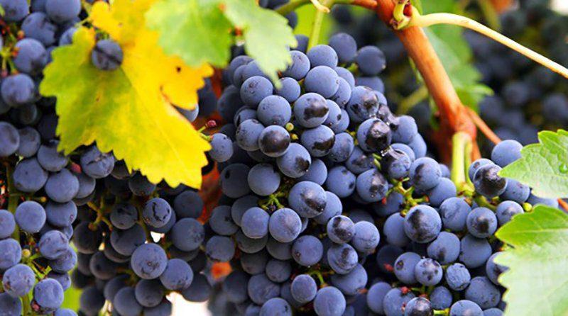 Sun world entrega nuevas licencias para la producci n de uva de mesa en per agap asociaci n - Variedades de uva de mesa ...